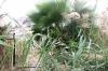 очерет і пальми, img_0797fc