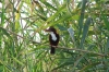 пташка-рибалочка, 1-dsc09824fc