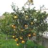 апельсинове дерево, z-dsc09939fc