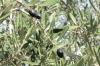 оливкове віття, img_1030fc