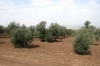 оливковий сад, img_1083fc