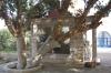 смоковниця-сікомора, 1-dsc01090fc