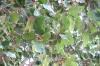смоковниця-сікомора, img_1585fc
