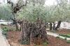 Гефсиманський сад, 1-dsc01466fc