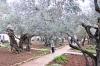 Гефсиманський сад, img_2070fc