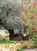 стародавні оливи, 1-dsc01310fc