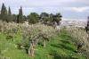 оливний сад, 1-dsc01394fc