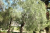 перцеві дерева, img_2309fc